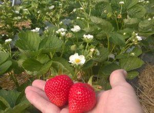 Hoffelner Erdbeeren